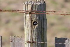 chickadee покрынный чернотой Стоковое Изображение