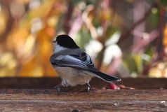 Chickadee покрытый чернотой на Birdfeeder Стоковые Изображения RF