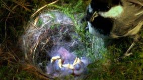 Chickadee подает младенец с большой едой сток-видео