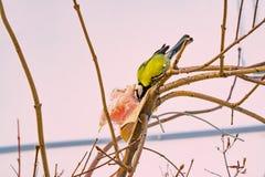 Chickadee птицы клюет на беконе ветви дерева сыром, ландшафте зимы Стоковая Фотография RF