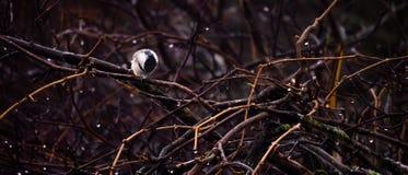chickadee сиротливый Стоковые Фотографии RF
