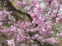 Chickadee среди вишневых цветов Стоковое фото RF