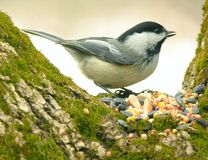 Chickadee 01 Photo libre de droits