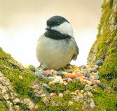 Chickadee 02 Stock Photography