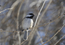Chickadee. Black-capped Chickadee on a branch Stock Images