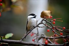 Chickadee Fotos de Stock Royalty Free