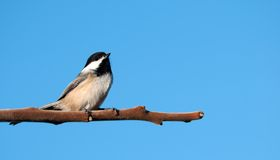 Chickadee. Royalty Free Stock Images