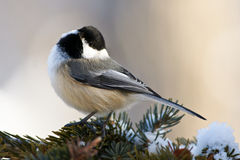 Chickadee Photos stock