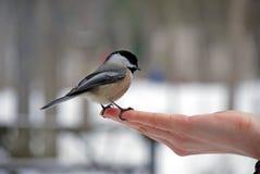 Chickadee Stock Image