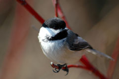 Chickadee 2 Foto de Stock Royalty Free