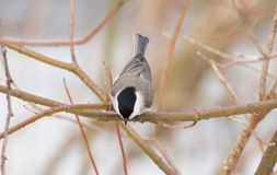 Chickadee Stock Images