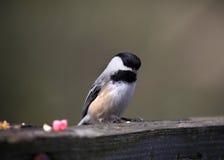 Chickadee Стоковые Фото