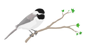 Chickadee. A black-capped chickadee perched on a branch Stock Photography