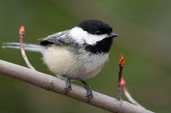 Chickadee Stock Photos