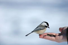 Chickadee. Bird Royalty Free Stock Photo
