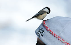 Chickadee. Bird Royalty Free Stock Image