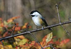 Chickadee. Bird Stock Photo