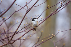 Chickadee Royaltyfria Foton