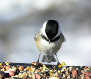 Chickadee 4 Royalty Free Stock Photography