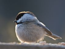 Chickadee. A backlit chickadee perches in search of food stock image