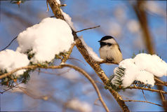 chickadee Stockfotos