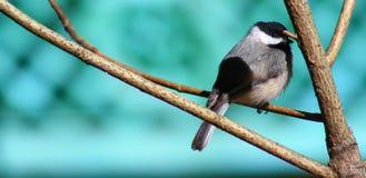 Ветреный Chickadee Стоковые Фото