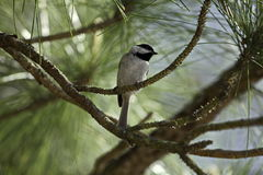 chickadee Obraz Royalty Free