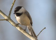 Chickadee Photographie stock