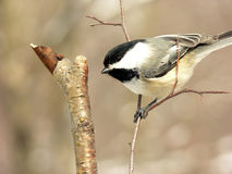 Chickadee 6 photographie stock