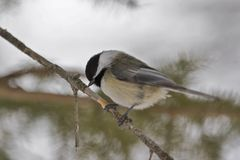 Chickadee. A chickadee on a branch in winter royalty free stock photos