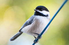 chickadee royalty-vrije stock foto