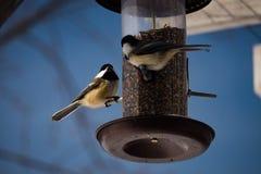 Chickadee 2 Стоковое Изображение