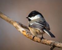 Chickadee adorable sur la branche Photographie stock