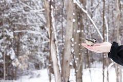 Chickadee amistoso que come la semilla del pájaro de la mano humana Foto de archivo