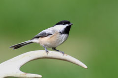 Chickadee on an Antler Stock Image