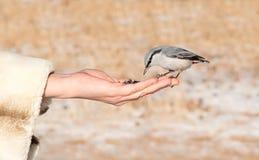 Chickadee atterrissant au bras de la femme Photo libre de droits