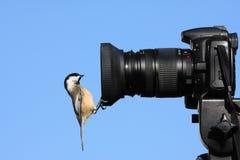 Chickadee auf Kamera Stockbild