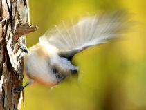Chickadee Autumn Blur Royalty Free Stock Photos