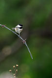 Chickadee on Barbed wire Stock Photography