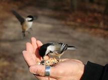 Chickadee being hand fed. Black-capped chickadee feeding from a hand with another hovering mid-flight with wings spread in the background waiting for its turn stock images