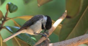 Chickadee-bidt stock fotografie