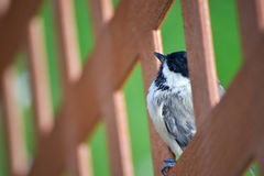 Chickadee Bird Close Up. Perched on fence in garden outdoors Royalty Free Stock Image