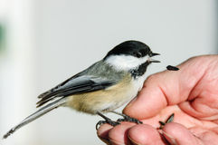 Chickadee bird Royalty Free Stock Photos