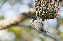 Chickadee on bird feeder. Details of a small chickadee on a bird feeder Stock Image