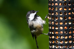 Chickadee and Bird Feeder Stock Photos