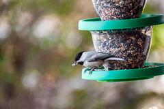 Chickadee at bird feeder Stock Image