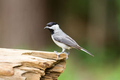 Chickadee bird on log with blurred background. Green and brown royalty free stock photos