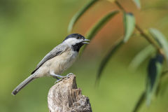 Chickadee Bird. The chickadee is a North American bird in the titmice family included in the genus Poecile, in North America. The chickadee has a dark crown Stock Images