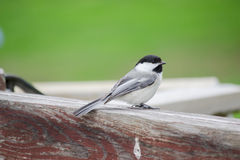Chickadee Bird Sitting On Fence. Cute little black-capped chickadee bird sitting on fence. Green grass in background Royalty Free Stock Photography