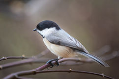 Chickadee. Bird sitting on a limb Royalty Free Stock Images